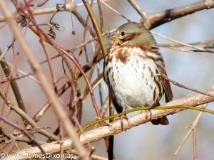 Fox Sparrow Two Rivers Park December 2012 0296