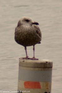 Lesser Black-backed Gull Lake Dardanelle January 2013 06856