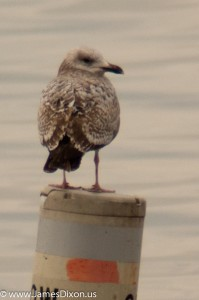 Lesser Black-backed Gull Lake Dardanelle January 2013 06885