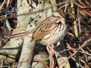 Song Sparrow Two Rivers Park December 2012 0241