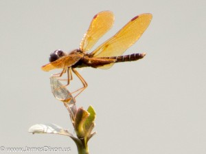 Eastern Amberwing Cook's Landing June 2013 2285