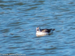 Long-tailed Duck Lake Maumelle January 2014 4849