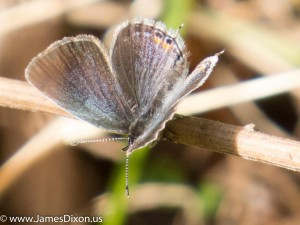 Eastern Tailed-Blue Pinnacle Mountain SP April 2014 0447