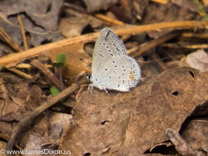 Eastern Tailed-Blue Pinnacle Mountain SP April 2014 0472
