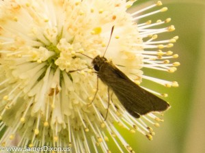 Swarthy Skipper CAW Sod Farm July 2014 1234
