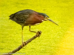 Green Heron Two Rivers Park August 2014