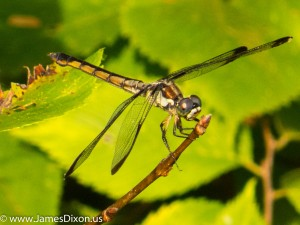 Yellow-sided Skimmer Two Rivers Park August 2014 (female)