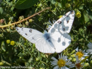 Checkered White Bayou WMA October 2014 1616