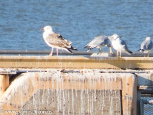 Great Black-backed Gull Lake Dardanelle January 2015 2198