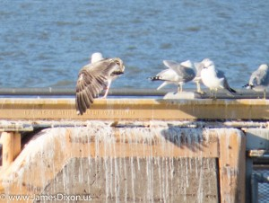 Great Black-backed Gull Lake Dardanelle January 2015 2210