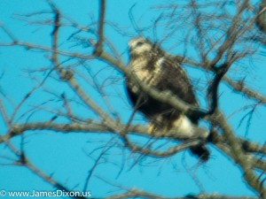 Red-tailed Hawk Holla Bend NWR January 2015 2094