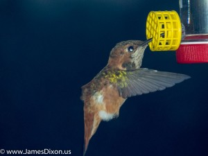 Rufous Hummingbird Little Rock March 2015 2261