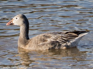Snow Goose Hiram Road Seeco Pond December 2015 2904