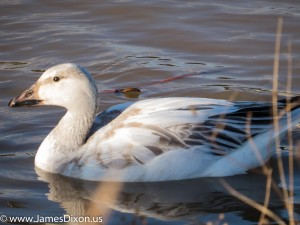 Snow Goose Hiram Road Seeco Pond December 2015 2908