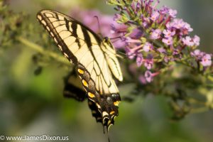 Eastern Tiger Swallowtail River Ridge Observatory August 2016 1300