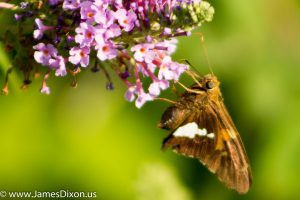 Silver-spotted Skipper River Ridge Observatory August 2016 1276