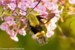Snowberry Clearwing Moth River Ridge Observatory August 2016 1285